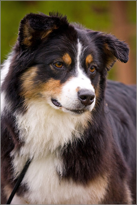 Australian Shepherd Husky Haven Grammy
