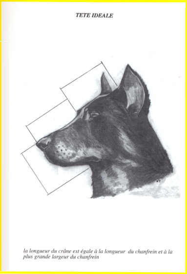 Perfectly correct structure of the head of Beauceron