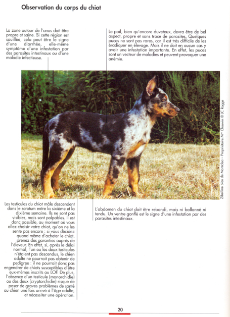 Ideally the correct structure of the body of the puppy Beauceron