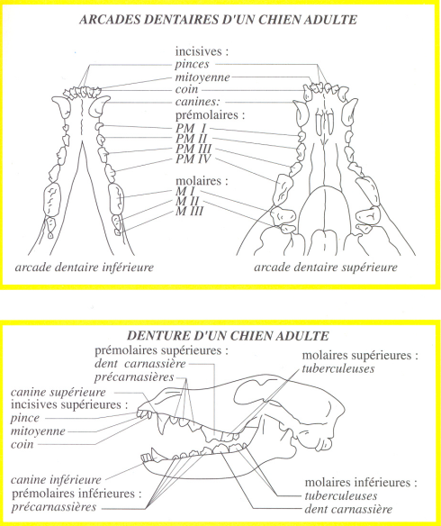 The correct structure of the jaw in Beauceron