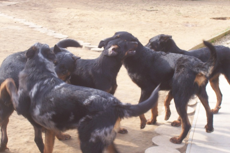 weekday Beauceron Kennel (1)