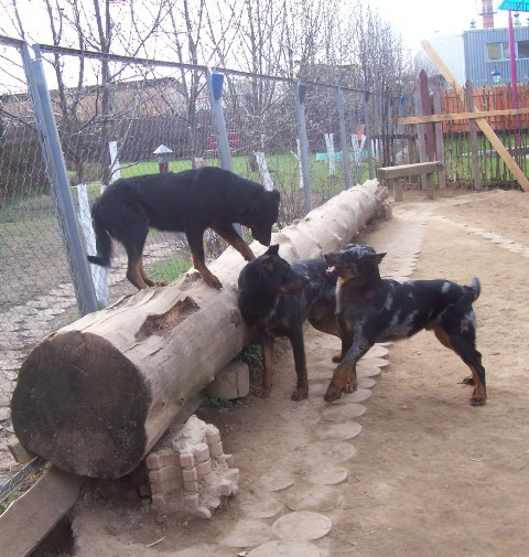 weekday Beauceron Kennel (2)