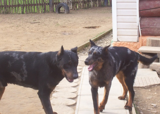 weekday Beauceron Kennel (3)
