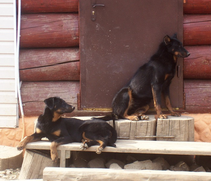 weekday Beauceron Kennel (4)